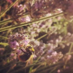The Actual bee & Lavender ( That I used in the recipe too ) that inspired me. I took this on my way to work in our front garden, then later the picture inspired the recipe
